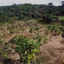Frische Baumpflanzungen in Costa Rica