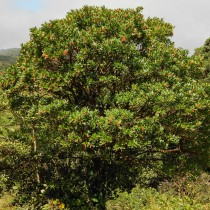 Der El Dama Baum ist sehr windresistent und daher gut für die Wiederbewaldung geeignet.