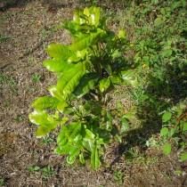 Kleine Kartoffelbäume und El Dama Bäume sind unsere Basis für die Wiederaufforstung