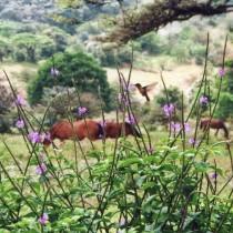 Pferde und Kolibri auf Los Alpes